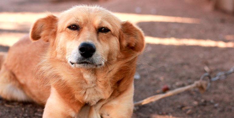 leucemia-en-perros