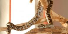 Mejores serpientes para tener como animal doméstico para sus hijos