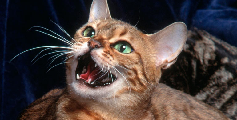 maullido-de-gato