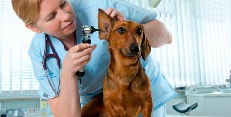 otitis-canina