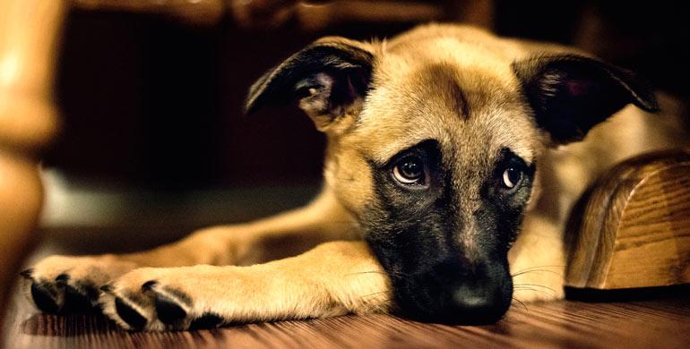 parvovirus-canino