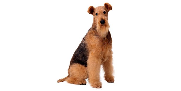 perro-airedale-terrier