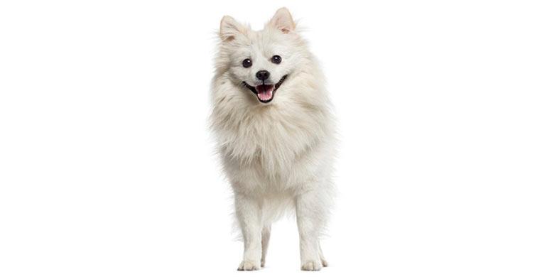 perro-american-eskimo