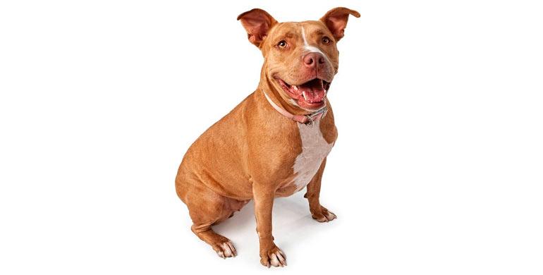 perro-american-pit-bull-terrier