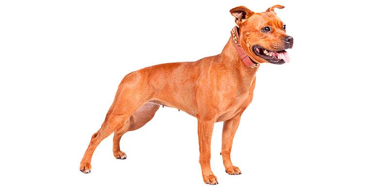 perro-american-staffordshire-terrier