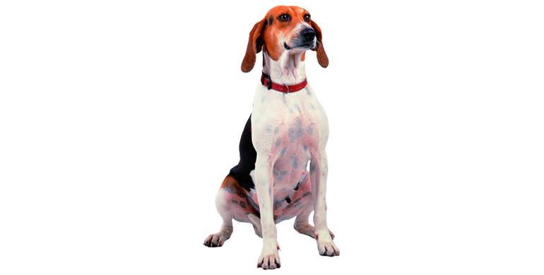 perro-anglo-francais-de-petite-venerie