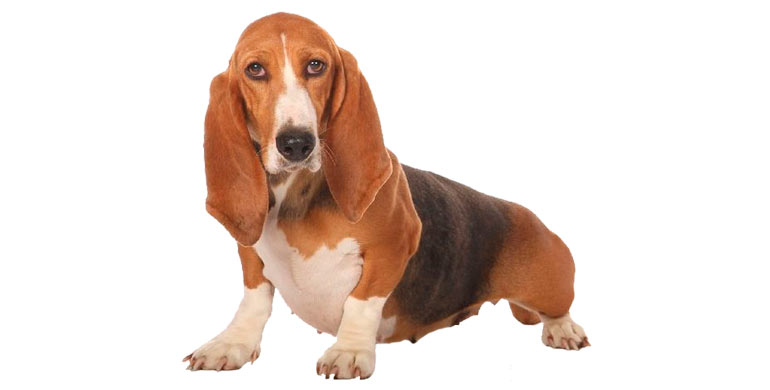 perro-basset-artesien-normand