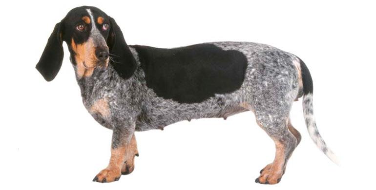 perro-basset-azul-de-gascuna