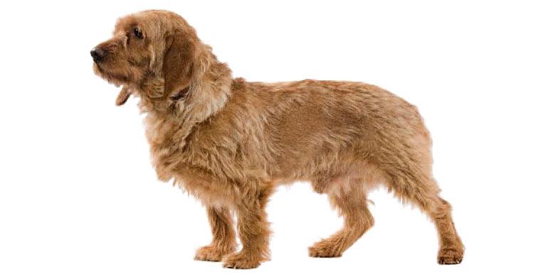 perro-basset-fauve-de-bretagne
