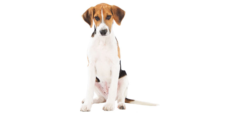 perro-beagle-harrier