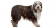 Perro Bearded Collie