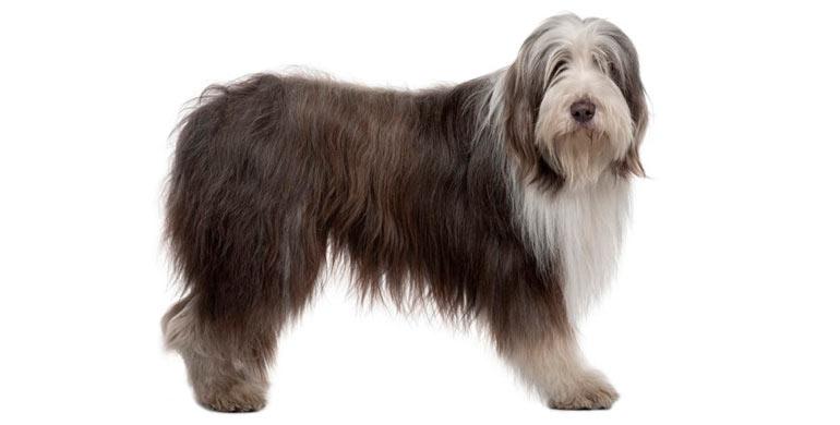 perro-bearded-collie