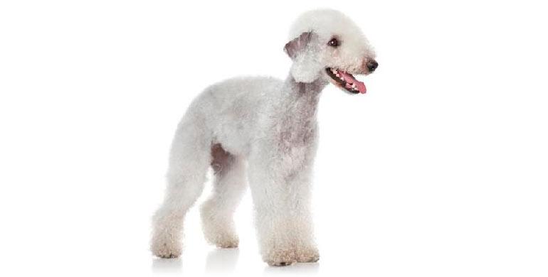 perro-bedlington-terrier
