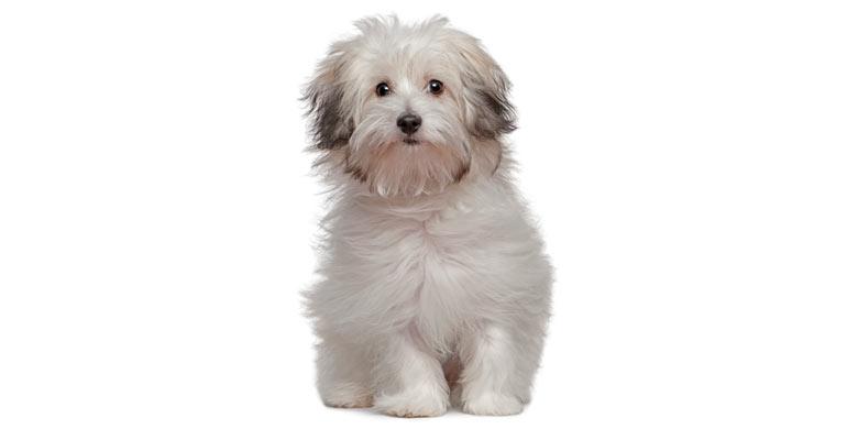 perro-bichon-Bolones