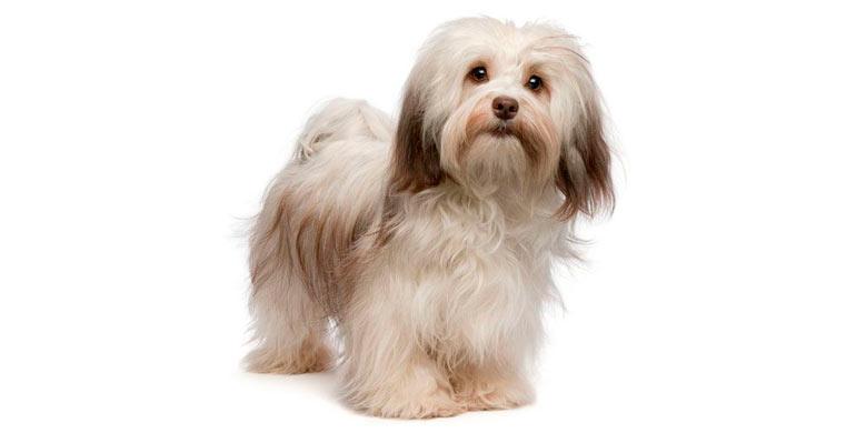 perro-bichon-habanero