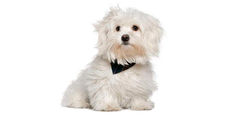 perro-bichon-maltes