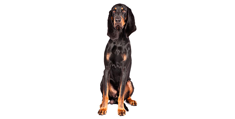 perro-black-and-tan-coonhound