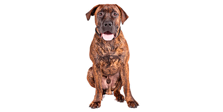 perro-boerboel