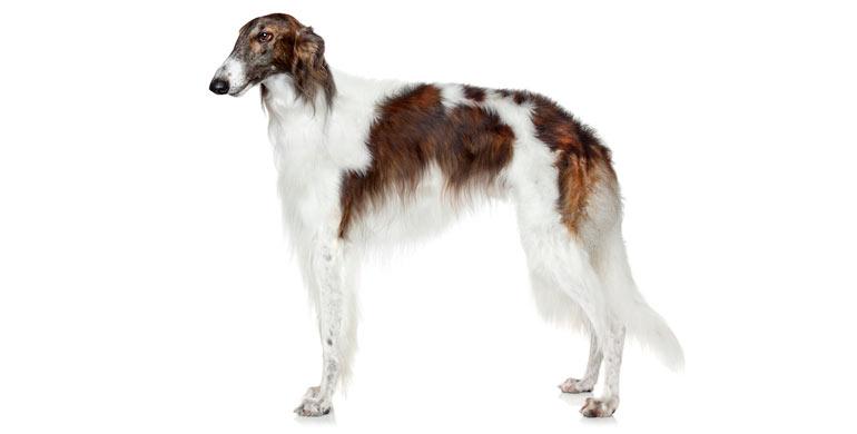 perro-borzoi