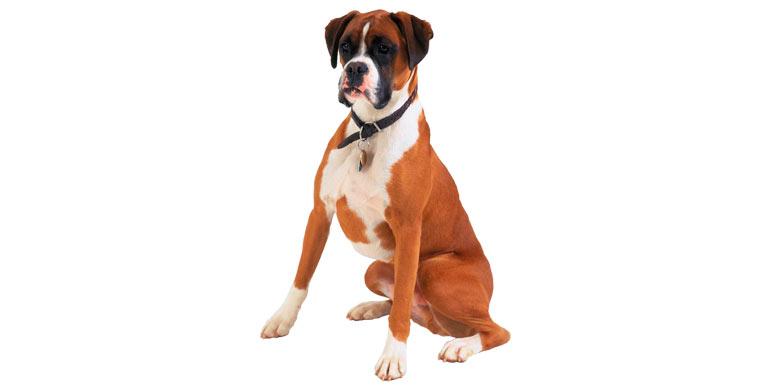 perro-boxer