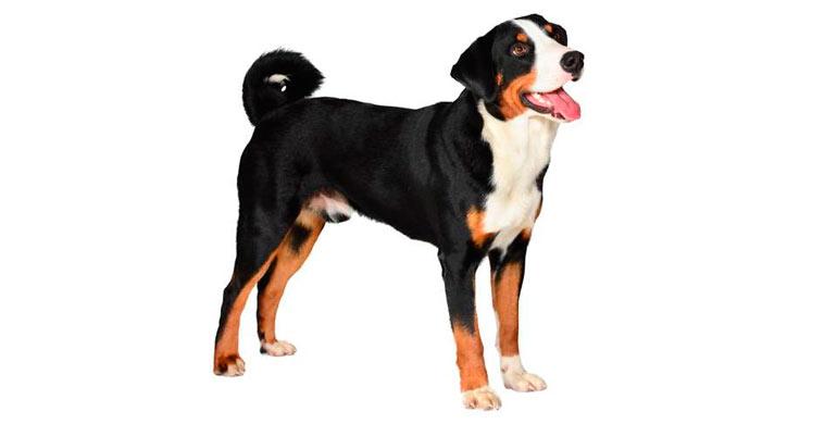 perro-boyero-de-appenzell