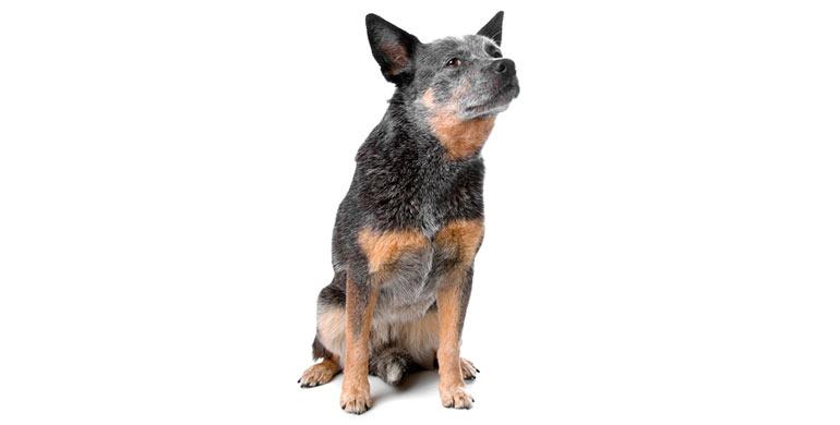 perro-boyero-de-australia
