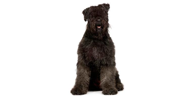 perro-boyero-de-flandes