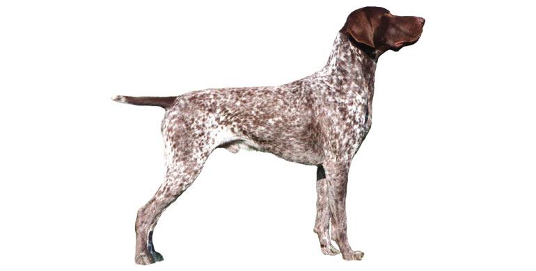 perro-braco-aleman-de-pelo-corto