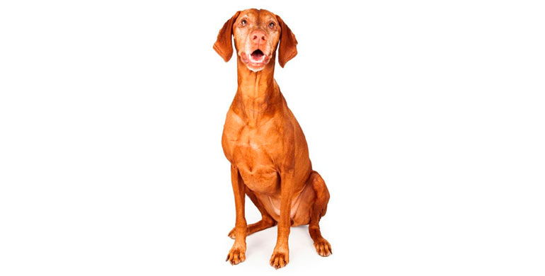 perro-braco-hungaro-de-pelo-corto
