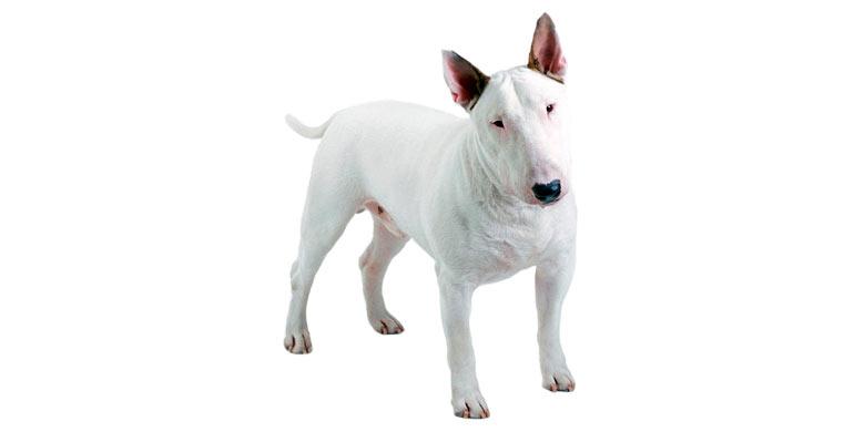 perro-bull-terrier