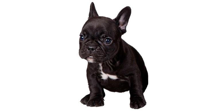 perro-bulldog-frances