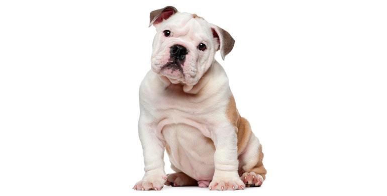 perro-bulldog-ingles