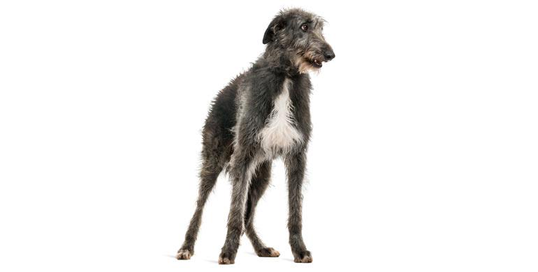 perro-bullmastiff