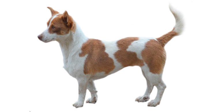 perro-can-guicho-ou-quisquelo