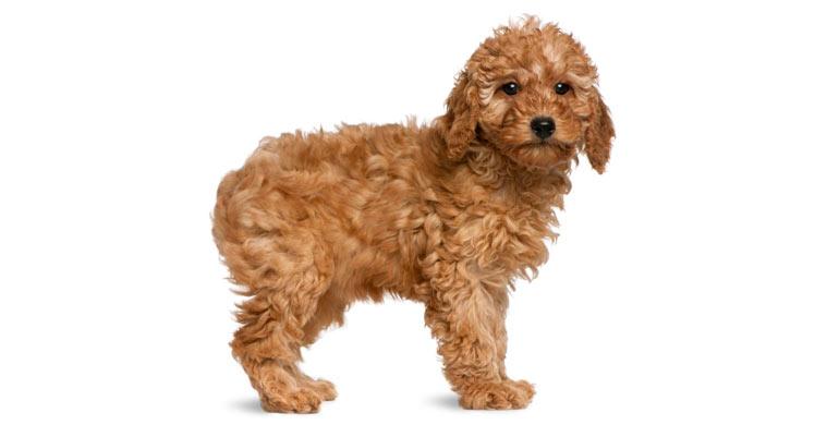 perro-caniche-enano