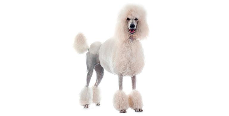 perro-caniche-gigante