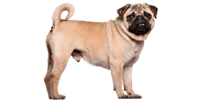 perro-carlino-pug