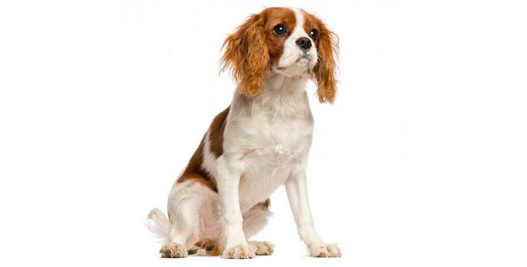 perro-cavalier-king-charles-spaniel