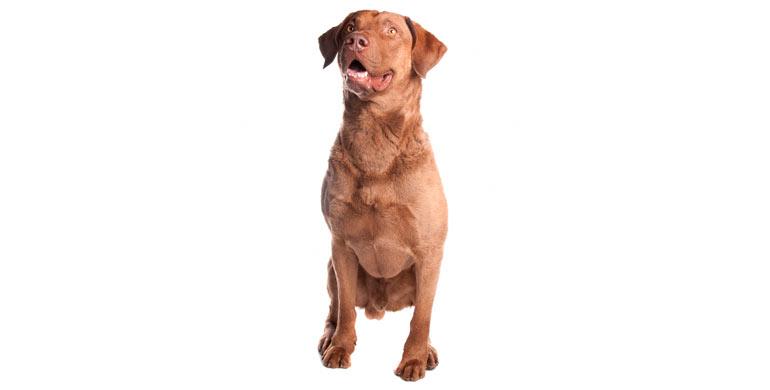 perro-chesapeake-bay-retriever
