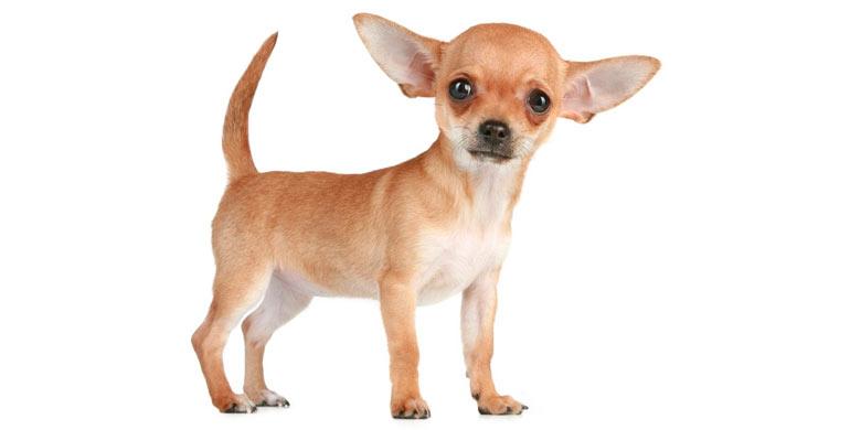 perro-chihuahua