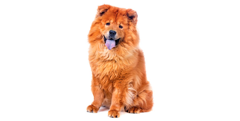 perro-chow-chow