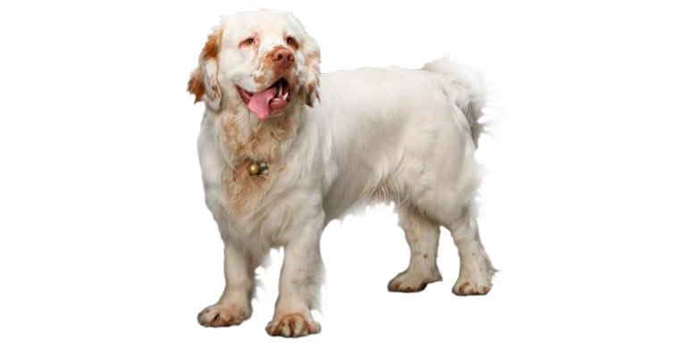 perro-clumber-spaniel