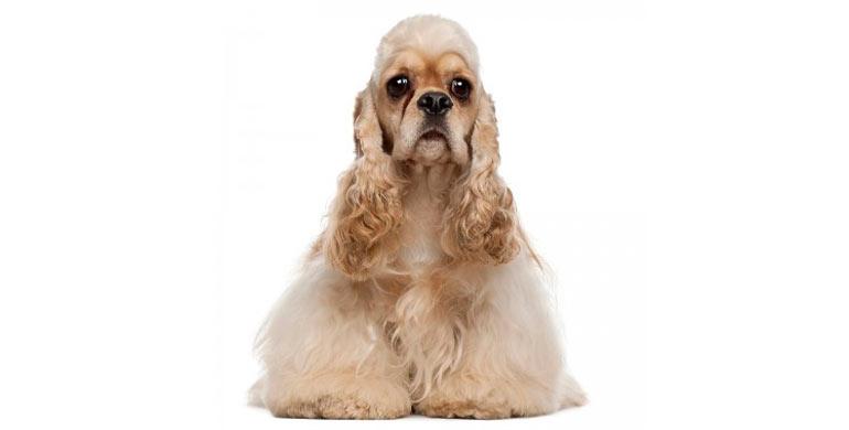 perro-cocker-spaniel-americano