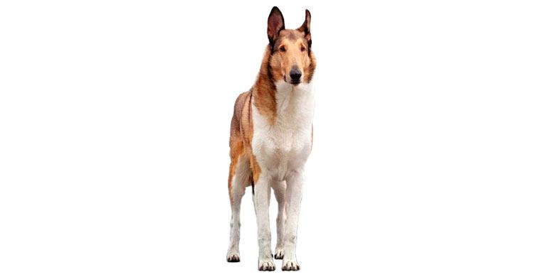 perro-collie-de-pelo-corto