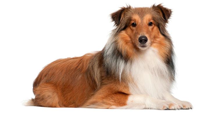 perro-collie-de-pelo-largo
