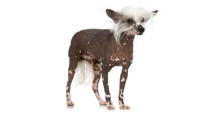 perro-crestado-chino