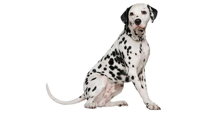 perro-dalmata