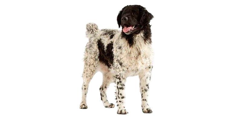 perro-de-agua-frison