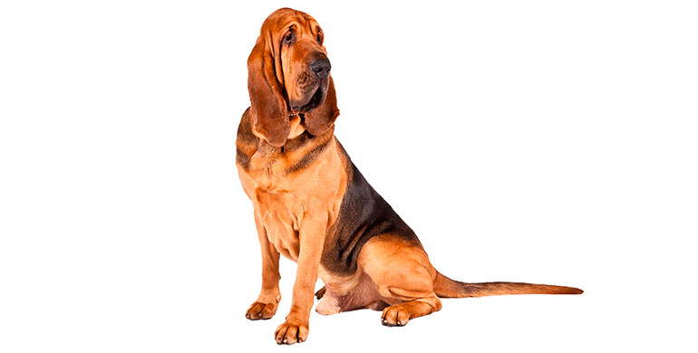 perro-de-san-huberto