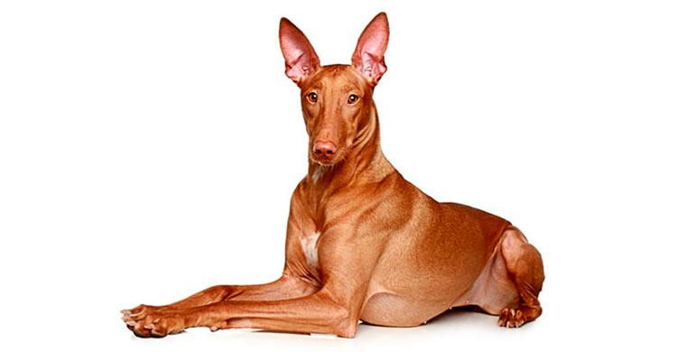perro-del-faraon